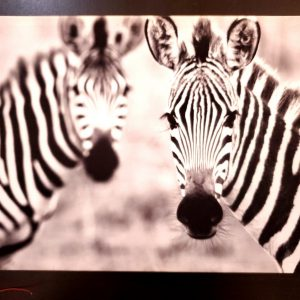 2 Gazing zebras backlit painting –